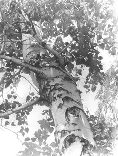 Pencil Drawings of Trees, Amazing Pencil Drawings, http://hative.com/50-amazing-pencil-drawings/,