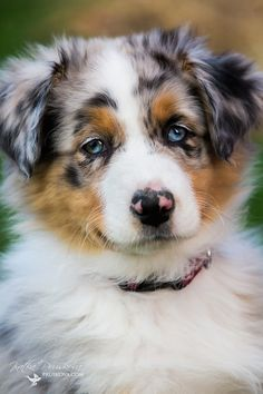 puppy of Australian Shepherd, photo by Katka Pruskova - Pets - Katka Pruskova Photography Australian Shepherds, Australian Shepherd Puppies, Aussie Puppies, Dogs And Puppies, Doggies, Really Cute Puppies, I Love Dogs, Cute Dogs, American Shepherd