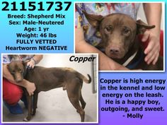 URGENT #FORTWORTH #TX #FOUNDDOG 10-22-13 MUST BE TAGGED BY 9 AM ON 10-22-13 URI ID:  21151737 #SHEPHERD MIX NEUTERED MALE 1 YEAR OLD 46 LBS
