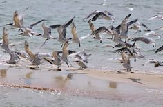 King Birds on an island beach in the Everglades