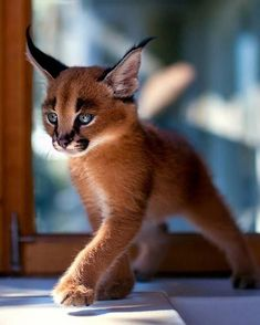 Baby Caracal tiere - New Ideas Cute Baby Animals, Animals And Pets, Funny Animals, Baby Exotic Animals, Funny Cats, Kittens Cutest, Cats And Kittens, Cute Cats, Cats Bus