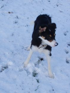 #Border_Collie #Puppy #Beautiful #Snow 24/01/07