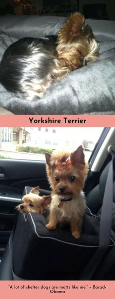 """""""One reason a dog can be such a comfort when you're feeling blue is that he doesn't try to find out why."""" Yorkshire Terrier #yorkshireterrierz #yorkshireterriersarebest #yorkshireterriersnapy"""