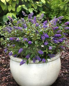 Blue Chip miniature Butterfly Bush.