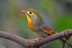 Kingdom Animalia, Red-Billed Leiothrix (by TerribleTer) / birds