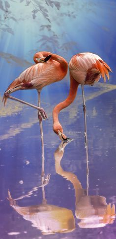 pretty flamingos ... (2017/02/27)