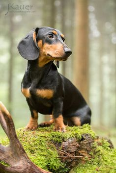 Teckel Kurzhaar - julia kauer jagdhunde fotografie The Effective Pictures We Offer You About Dogs sk Popular Dog Breeds, Best Dog Breeds, Best Dogs, Dachshund Puppies, Dogs And Puppies, Puppies Gif, Weenie Dogs, Doggies, Dog Breed Names
