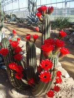 Growing Succulents, Cacti And Succulents, Planting Succulents, Cactus Plants, Desert Flowers, Desert Plants, Succulent Gardening, Succulent Terrarium, Beautiful Roses