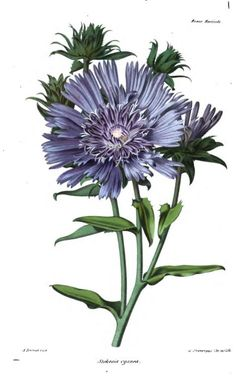 La Stokesie a Fleurs Bleues ( Stokes' Aster ). Plate from 'Revue Horticole' (1869). https://archive.org/stream/revuehorticole11frangoog#page/n5/mode/2up