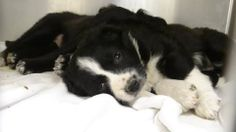 2/28/14 URGENT - PR 1-3 Non Blondes   Blk/Tan Aussie Shep A-C, Female 5 weeks   Impound 2/25 Due out 3/4    Roswell Animal Control  705 E. McGaffey; Roswell, NM  575-624-6722 https://www.facebook.com/RoswellUrgentAnimalsAtAnimalControl/photos/a.256367154531289.1073741868.176246809209991/259378354230169/?type=3&theater