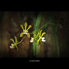 Orquídeas (Encyclia belizensis)