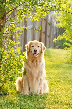 "Outstanding ""golden retriever puppies"" detail is readily available on our site. Cute Baby Dogs, Cute Little Puppies, Cute Dogs And Puppies, Cute Baby Animals, Doggies, Perros Golden Retriever, Chien Golden Retriever, Golden Retrievers, Cute Dog Wallpaper"