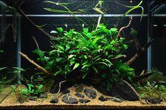Nature Aquarium #natureaquarium #naturalovers #aquascaping #aquascape #aquaticplants #aquarium #plantedtanks #plantedtank  #lowtech