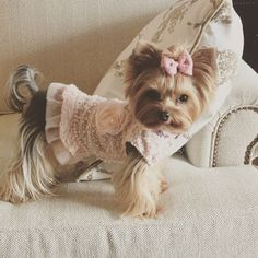 The Yorkshire Terrier is a lovely and cute breed!💕You can see many of them in fascinating costumes and here you can see some amazing outfits for your Yorkshire Terrier! Yorkies, Yorkie Puppy, Chihuahuas, Teacup Puppies, Cute Puppies, Cute Dogs, Teacup Yorkie, Chien Yorkshire Terrier, Yorkshire Terrier Haircut