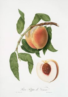 Peach Botanical