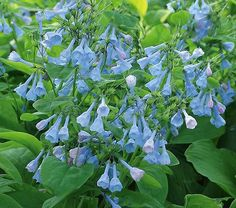 Virginia bluebells (Mertensia virginica) blooms in late spring in Zones 3 to 10. Best grow under shade of deciduous trees. Combine with Spring beauties (Claytonia virginica), Dutchman's breeches (Dicentra cuccularia), Wild ginger (Asarum canadense), Jack-in-the-pulpit (Arisaema triphyllum), Lady fern (Athyrium filix-femina).