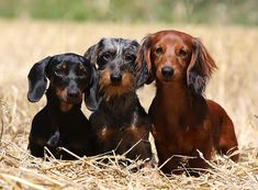 Dackel im Rasseportrait im Hunde Magazin Cute Cats And Dogs, All Dogs, Animals And Pets, Best Dogs, Cute Animals, Miniature Dachshunds, Dachshund Love, Service Dogs, Dog Love