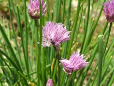 A Life Unprocessed: Using, Harvesting, And Storing Fresh Chives