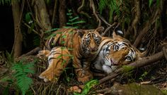 National Geographic Live: On the Trail of Big Cats with Steve Winter | EPCOR CENTRE for the Performing Arts | Calgary, Alberta