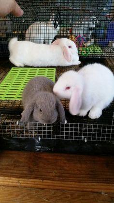 Bunnies, 7 week old bunnies, mini lops, gray and white mini lops, lop eared bunnies, white bunny with red eyes, pink ears
