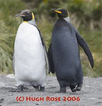 Rare melanistic (black) penguin photo by Hugh Rose
