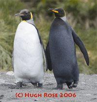 Rare melanistic (black) penguin photo by Hugh Rose