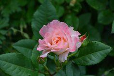 Augusta Luise – ruusu | Vesan viherpiperryskuvat – puutarha kukkii