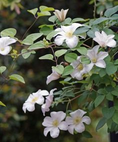 Clematis Huldine-Have this in my garden-it's a great clematis!