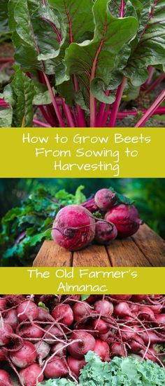 Learn how to grow beets better with The Old Farmer's Almanac!