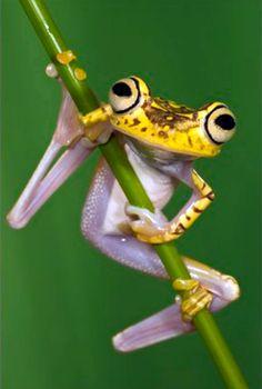 Chachi Tree Frog Hypsiboas Picturatus