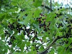 Prunus serotina, black cherry, wild black cherry, rum cherry, or mountain black cherry Black Cherry Fruit, Prunus, Shrubs, Rum, Trees, Mountain, Digital, Tree Structure, Shrub