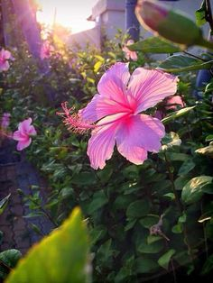 🌺🌿 Hibiscus Flowers, Flowers Nature, Tropical Flowers, Colorful Flowers, Pink Flowers, Village Photography, Fire Photography, Tumblr Photography, Amazing Flowers