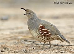 gambel's quail images - Google Search