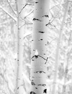World of White, aspens, Yellowstone National Park.