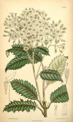 Olearia v.115 [ser.3:v.45] (1889) - Curtis's botanical magazine.