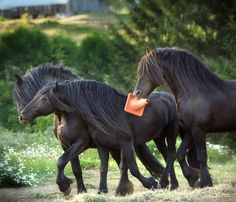 Friesian stallion buddies. What are they up to? photo: Laura Zugzda.