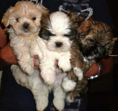 Teddy Bear (Shih Tzu/Bichon Frise Mix) puppies. One of the breeds we're looking at getting this spring. I personally like the black and brown mix on the right.  :)