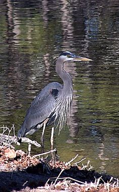 "Great Blue Heron--our ""Helga"" is at our lake daily."