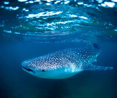 """Whale Shark Migration, Mexico. """"Wide-mouthed, spotted, and between 25 and 40 feet long, whale sharks are some of the ocean's most fearsome-looking creatures. In fact, though, these floating behemoths are completely harmless plankton-feeders, which are perfectly amenable to having human company swim right alongside them. Such intimate rendezvous are possible in the waters off tiny Isla Holbox...and where hundreds of whale sharks converge to feed every summer."""" Go May-Sept."""