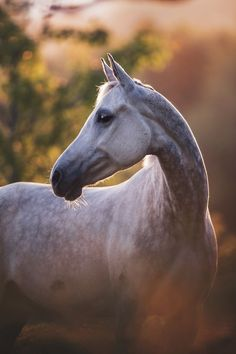 Extremely beautiful horse pictures for all the horse lovers out there! #horses#horse#horselovers#horselove#lovinghorses#beautifulhorsepictures#horseriding#stunninghorses#beautifulhorses#loveforhorses#stallions#polopony#pony#whitehorses#equestrian#marwarihorse#marwari#thoroughbred#ponies#horsepictures#horsephotography#horsebackriding#LAPOLO Beautiful Horse Pictures, Beautiful Horses, Equine Photography, Animal Photography, Dapple Grey Horses, Animals And Pets, Cute Animals, Akhal Teke Horses, Polo Horse