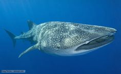 Whale sharks are the largest fish in the world, with the longest ever recorded at over 13. Description from bbc.co.uk. I searched for this on bing.com/images