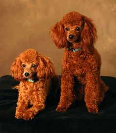 Google Image Result for http://www.daisyhillpoodles.com/images/Abby%2520%26%2520Bella%2520Gaboury.jpg