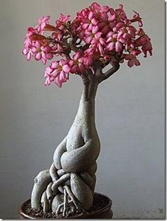 Adenium Flower Bonsai