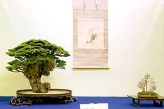 Cool display of a Bonsai clinging to a rock, in the center a scroll and to the right a nice little forest style Bonsai. Photo by Michaelbonsai. #bonsai