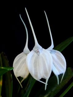 Alaticaula tovarensis  - It ocurrs in Tovar, Venezuela, from 1500 to 2500 meters high. It shows from 1 to 4 flowers ate the same stalk, which will bloom year to year.