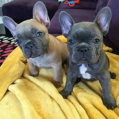 'Hazel and Violet', the French Bulldog Puppies. Such cuties! French Bulldog For Sale, French Bulldog Puppies, French Bulldogs, Teacup Puppies, Cute Puppies, Cute Dogs, Dogs And Puppies, I Love Dogs, Puppy Love