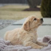 Heidi Golden Retriever Puppy 591643 Puppyspot Golden Retriever