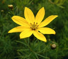 Threadleaf Tickseed Coreopsis_verticillata Top 10 Flowers That Bloom all Year Landscaping Plants, Front Yard Landscaping, Shade Garden, Garden Plants, Flowering Shade Plants, Garden Yard Ideas, Garden Tips, Le Far West, Flowers Perennials