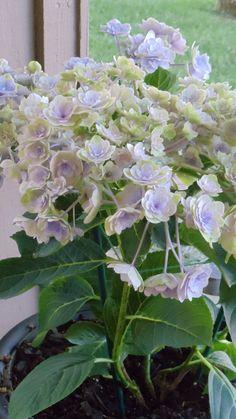 Hydrangea from my garden