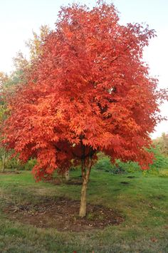 Scientific name: Acer triflorum Common name: three-flowered maple Zone: 4 Height: 25'-30' Spread: 25'-30'